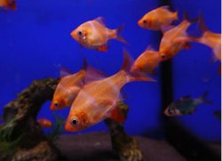 Fresh Water Fish, Size: Start from 1 to 5 Inch