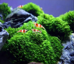 Fissidence Sp. Mini  Moss ForeGround Plant