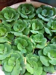 Aquatic Plants, Size: 2 To 5 Centimetre, Water Lettuce