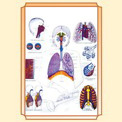 CHAT : Respiratory System Model