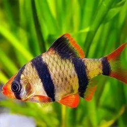 Multicolor Tiger Barb Fish