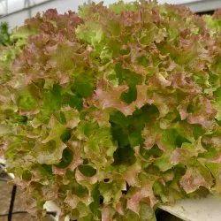 A Grade Lollo Rosso Lettuce (Hydroponic, Pesticide-Free)