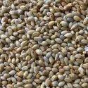 Vigor Foods Pearl Millet Seeds, Pack Type: Bag, Pack Size: 25 Kg, 50 Kg