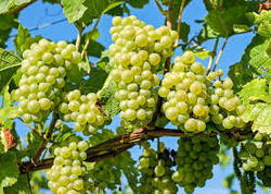 Manohar International Indian Fresh Grapes
