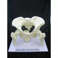 Pelvis Model With Fetal Skull