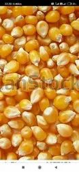 Chand trading Yellow Maize, High in Protein
