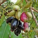 Thai Jamun Plant