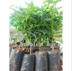 Malasiyan Neem Plants