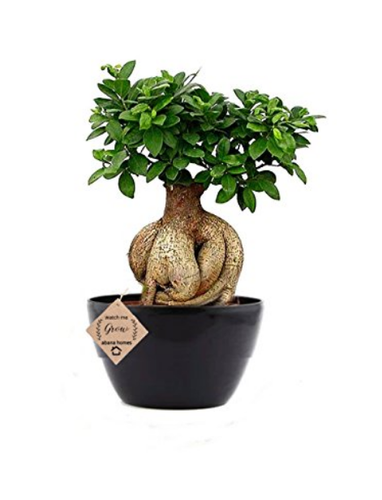 Abana Homes Gensing Grafted Ficus Indoor Real Bonsai Live Plants 6