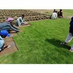 Full Sun Exposure Mexican Natural Lawn Grass, For Garden