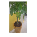 A Grade Pachira Plant For Decoration