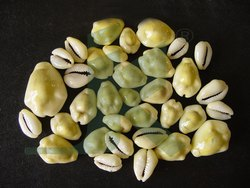Organic CYPRAEA MONETA Yellow Cowries