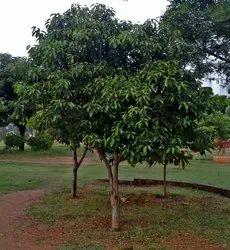 Mimusops Elengi Plants