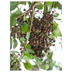 Horticultural Impex Natural Lawsonia Inermis Mignonette, Packaging Type: Packet, Packaging Size: 1 Kg