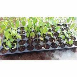 Plastic Farm Cultivator 50 Cavity Nursery Seedling Trays, Size: 535x275mm
