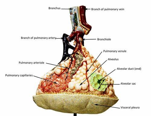 Pulmonary Alveoli Model - View Specifications & Details of Pulmonary ...