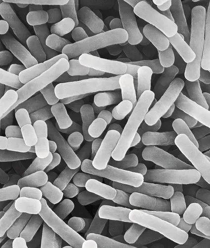 Lactobacillus Bulgaricus Manufacturer From Hyderabad