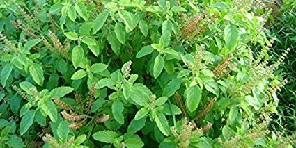 Image result for FREE TULSI IMAGE