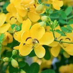 Cassia Fistula Flowers - Amaltas Flowers
