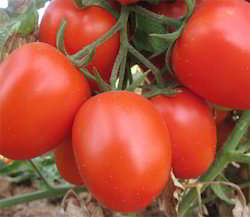 Shine Brand Seeds Hybrid Tomato Seeds - F1 Dragon, Pack Size: 1kg