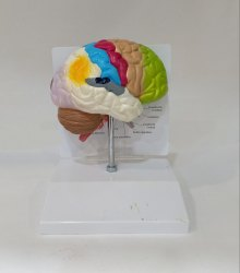 Coloured Brain Model