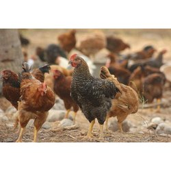 Female Giriraja Breed Chicken