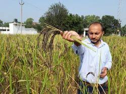 Pure Manipuri Black Rice Seeds
