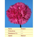 Cut Flower Caryophyllaceae Horizon Carnation Plant, The Netherlands, For Decoration And Events