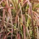 Dry Citronella Grass