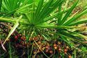 Saw Palmetto Extract Fatty Acid