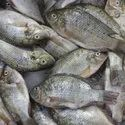 Aqua Probiotics For Sludge Removal in Tilapia Fish Ponds