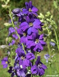 Delphinium Consolida Imperial Mixed Larkspur Seed