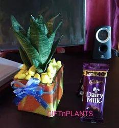 Sensiviera Air Purifier Gift Plant