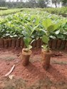 Tissue culture Teak Wood Plant