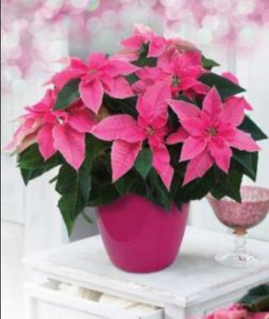 Gift Plants - Poinsettia Pink Gift Plant Wholesaler from