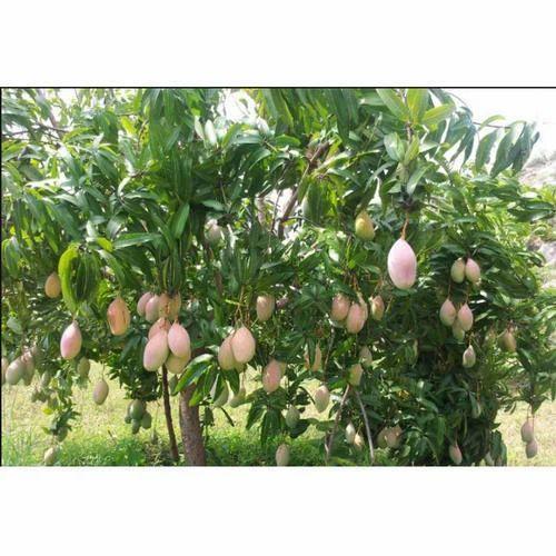 Pansare Nursery Mango Plant Rs 60