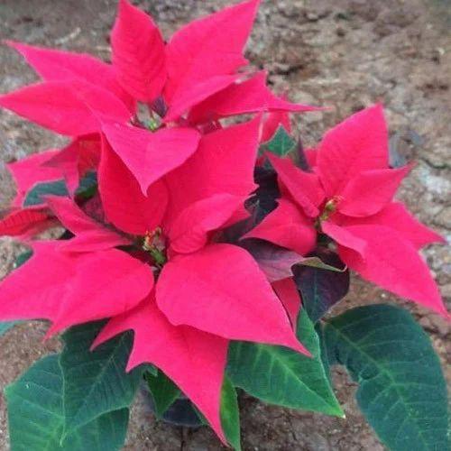 Poinsettia Flower Plant At Rs 200 Plant À¤« À¤² À¤µà¤° À¤— À¤ª À¤² À¤Ÿ À¤« À¤²à¤¦ À¤° À¤ª À¤§ Sunny Roses Pune Id 16696078255