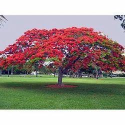 Delonix Regia Tree