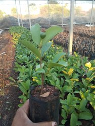 Fruit plants - Taiwan Pink Guava Plants Manufacturer from Pune