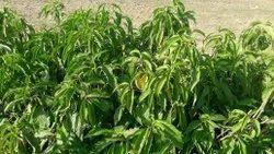 Adusa Leaf