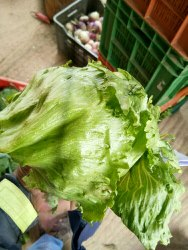 Lettuce Ice Barg