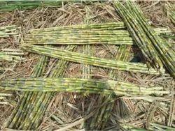 Peeled Sugarcane Chennai