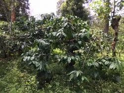 Coffee Estates For Sale in Coorg, Gonikoppal
