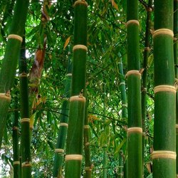Pyramid Shaped Bamboo Plant
