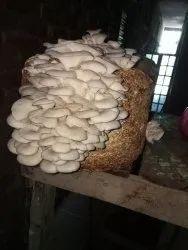 Oyester Mushroom Spawn