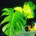 Fast Growth Platycladus Orientalis Pots & Plants Monstera Deliciosa, Epipremnum Aureum