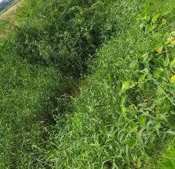 Brachiaria Mutica Green Para Grass Stems, For Buffalo, Goat, Packaging Size: 2