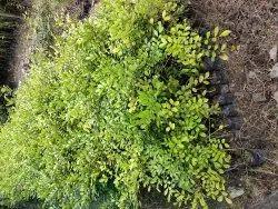 Green Cut Flower Kamini Kanchana Plant