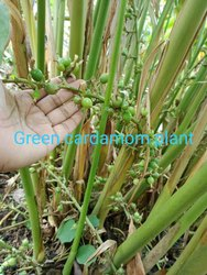 Elettaria Cardamomum Zingiberaceae Cardamom Plant