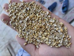 Badami Quality Split Coriander Seed